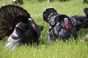 best binoculars for turkey hunting
