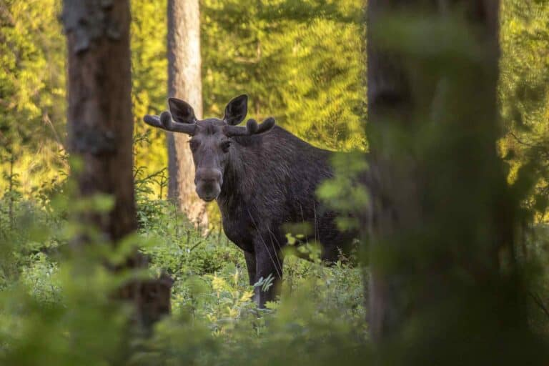 Elk Hunting Tips for Beginners